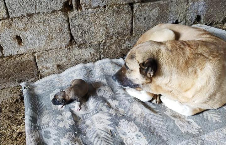 Köpekte İlginç Doğum